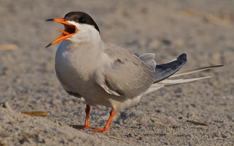 Common Tern, Nickerson Beach, LI