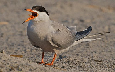 Common Tern, Nickerson Beach, LI