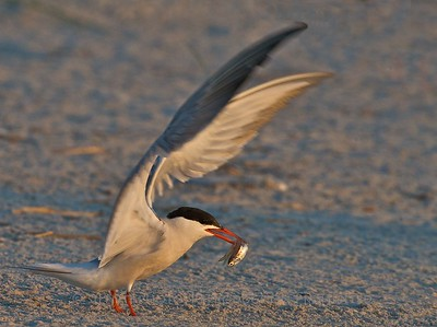 Tern with Sand Lance - Nickerson Beach, Long Island