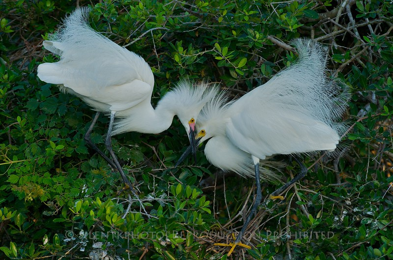 """Snowy Egret - St. Augustine Alligator Farm, St Augustine FLA<br /> """"What do you think is in there?"""""""