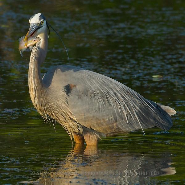 Great Blue Heron - Magee Marsh, Ohio