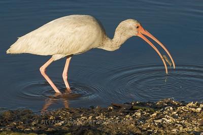 White Ibis - Ding Darling Sanibel, FLA