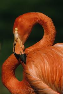 Flamingo - Lincoln Park Zoo, Chicago