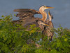 Great Blue Herons on Nest, Port Aransas Rookery, TX