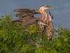 Great Blue Herons on Nest, Port Aransas Rookery, TX