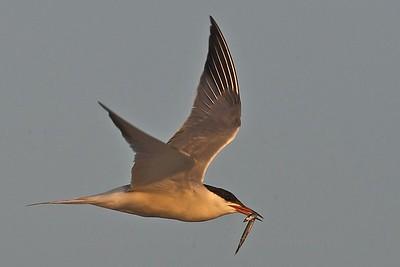 Tern with Sand Lance - Nickerson Beach, Long Island
