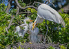 Great White Heron on Nest - St Augstine Alligator Farm