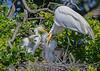 Great White Heron on Nest - St Augstine Alligator Farm
