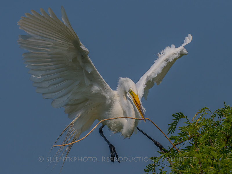 White Egret, Port Aransas Rookery, TX