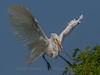 White Egret, Port Aransas Rookery, TX