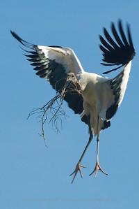 Wood Stork - St Augustine Alligator Farm, St Augustine FLA Bringing sticks and branches for nest building.