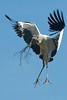 Wood Stork - St Augustine Alligator Farm, St Augustine FLA<br /> Bringing sticks and branches for nest building.