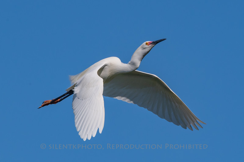 Snowy Egret - St Augustine Alligator Farm, FLA