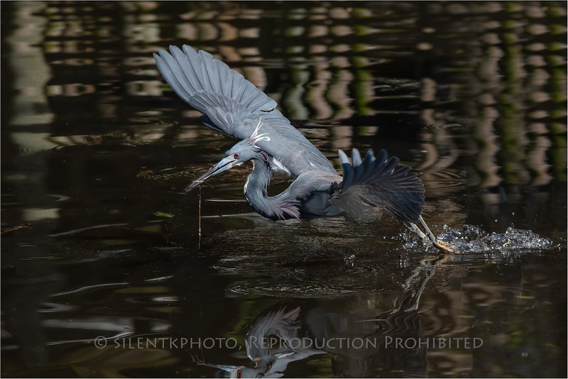 Little Blue Heron - St Augustine Alligator Farm, FLA