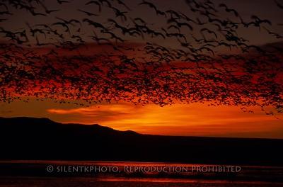 Snow Geese at Dawn - Bosque del Apache, NM