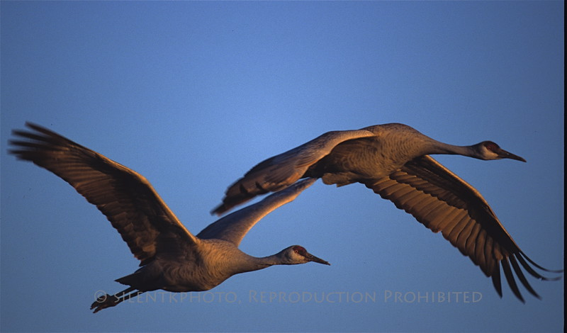 Sandhill Cranes in flight - Bosque del Apache, NM