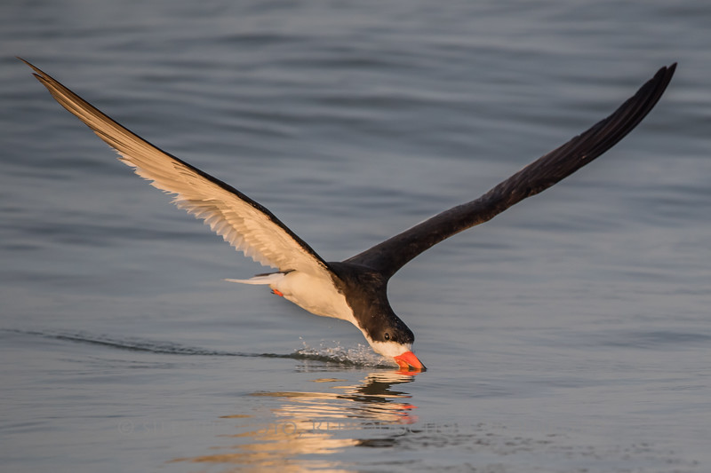 Black Skimmer - Nickerson Beach, Long Island