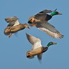 Mallards - Magee Marsh, Ohio
