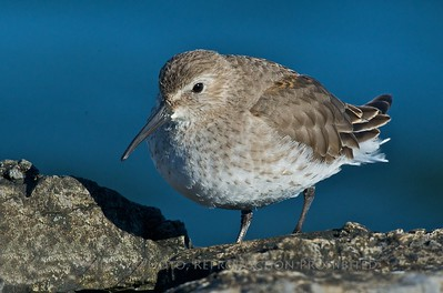 Dunlin, Barnegat Light