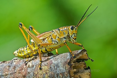 Grasshopper: Indian River Park, Jensen Beach, FLA