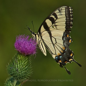 Eastern Tiger Swallowtail, Great Swamp NWR TK3_4225