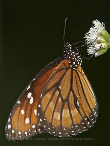 Monarch  Butterfly, Loxahatchee, FLA