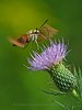 Clearwing Hummingbird Moth - Great Swamp NWR