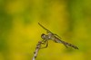 Dragonfly - BREC Basking Ridge, NJ