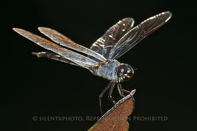 Dragonfly, Indian River Park, Jensen Beach, FLA - backlit withh afternoon sunlight