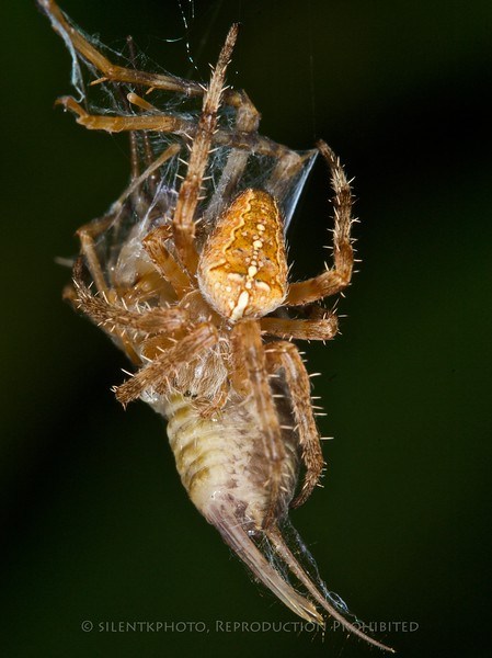Spider with Cricket