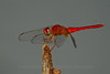 Dragonfly (Ruddy Darter?)- Indian Riverside Park, Jensen Beach, FLA