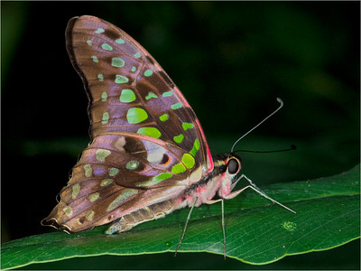 Tailed Jay Butterfly - World of Wings, Teaneck, NJ