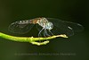 Dragonfly, Indian River Park, Jensen Beach, FLA <br /> TK3_5328