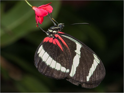 Hewitsoni Longwing - South/Central America
