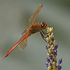 Dragonfly, Indian River Park, Jensen Beach, FLA