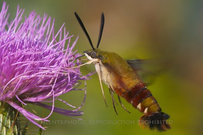Hummingbird Moth - Basking RIdge Environmental Center; Basking Ridge, NJ