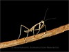 Praying Mantis<br /> TK3_1689a