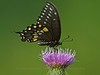 Spicebush Swallowtail, Great Swamp NWR<br /> TK3_4144