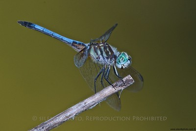 Great Blue Skimmer - Briant Park Pond, Summit, NJ