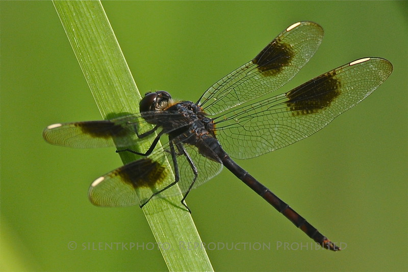 Dragonfly (Four Spotted Pennant) - Indian Riverside Park, Jensen Beach, FLA