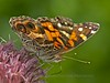 Painted Lady, Reeves Reed Aboretum, Summit, NJ<br /> TK3_4708