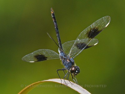 Dragonfly - Four Spotted Pennant; Jensen Beach, FLA
