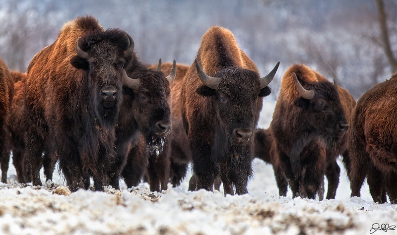 Snowy Shaggy Bison...<br /> <br /> This herd of Bison have no problems keeping warm after a fresh winter snowfall...
