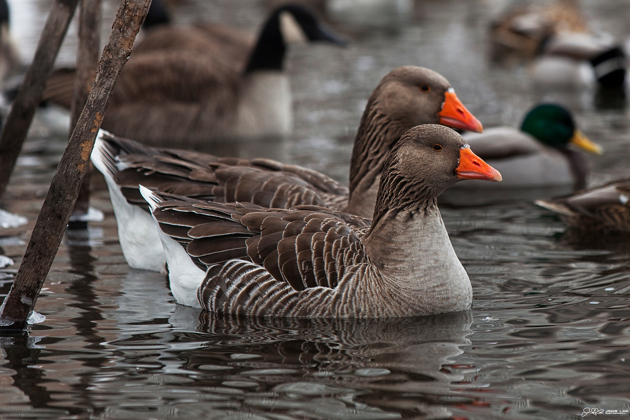 """Toulouse Goose<br /> <br /> These two were quite the trouble makers at North Pond today...<br /> <br /> Voted Photo of the Day by Chicago's Channel 2 News... <a href=""""http://www.capturemychicago.com/photos/2012/1/22"""">http://www.capturemychicago.com/photos/2012/1/22</a>"""
