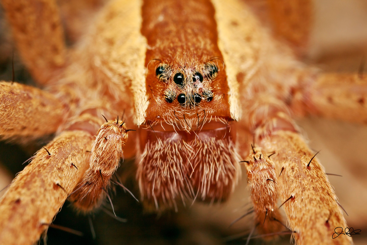 """Nursery Spider Eyes...<br /> <br /> The 8 eyes of the a nursery spider under 4:1 macro magnification. One of the distinct characteristics of the Nursery Spider is the """"U"""" shape of the upper 4 eyes."""