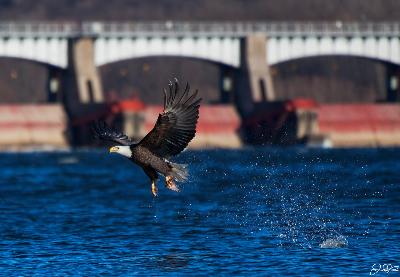 Fast Food...<br /> <br /> The afternoon sunlight was perfect to capture this eagle while he made this excellent one taloned grab!! Lock and dam 14 in LeClair Iowa is visible in the background.<br /> <br /> Sequence: #4 of 5