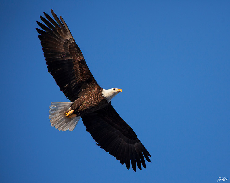 """Eagle Flight<br /> <br /> A North American Bald Eagle soars over the Mississippi River in late January.<br /> <br /> Voted #3 in the top 11 images of the day on Google+ by Photoextract.com: <a href=""""http://www.photoextract.com/plus-extract/2012/1/28"""">http://www.photoextract.com/plus-extract/2012/1/28</a>"""