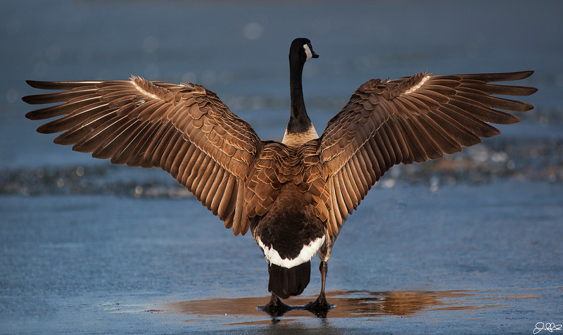 Canada Goose Wingspan...<br /> <br /> Canada Geese can have a wingspan of up to 6 feet and can weigh as much as 20lbs...