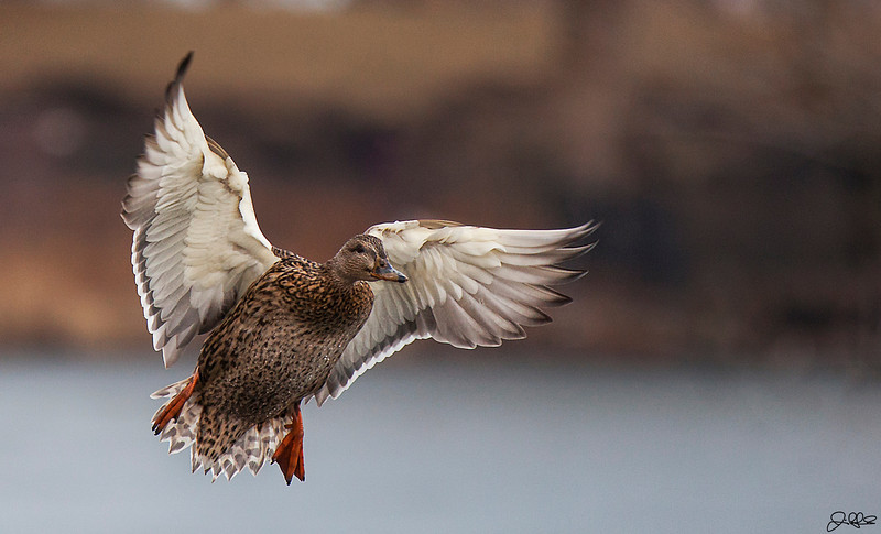 Woaaaa!!!!<br /> <br /> A female duck coming in for landing at North Pond