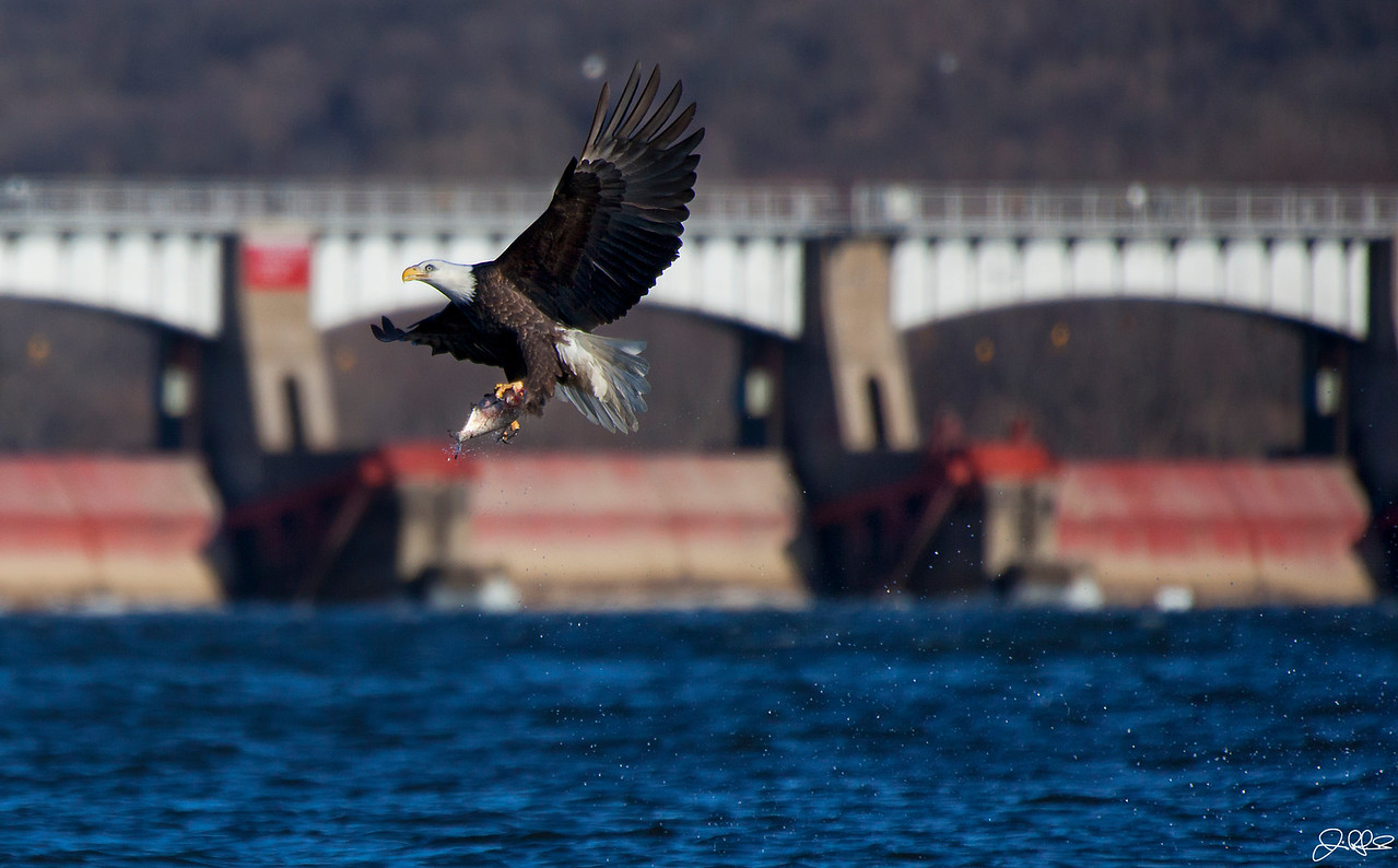 Carry Out...<br /> <br /> North American bald Eagle takes his food to go!!! This image is part of a 5 image sequence that shows the eagle before, during, and after capturing his prey...<br /> <br /> Sequence: #5 of 5